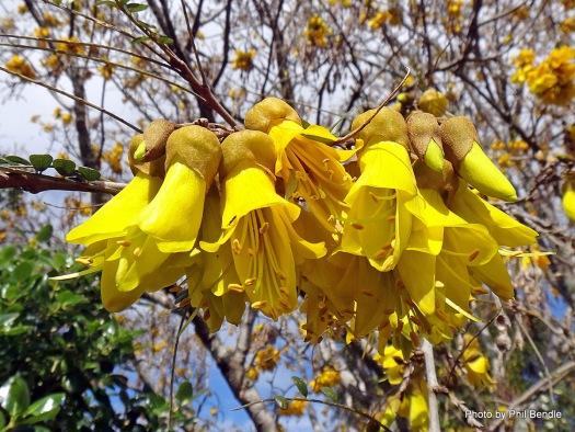 Sophora_microphylla__Kowhai_-002